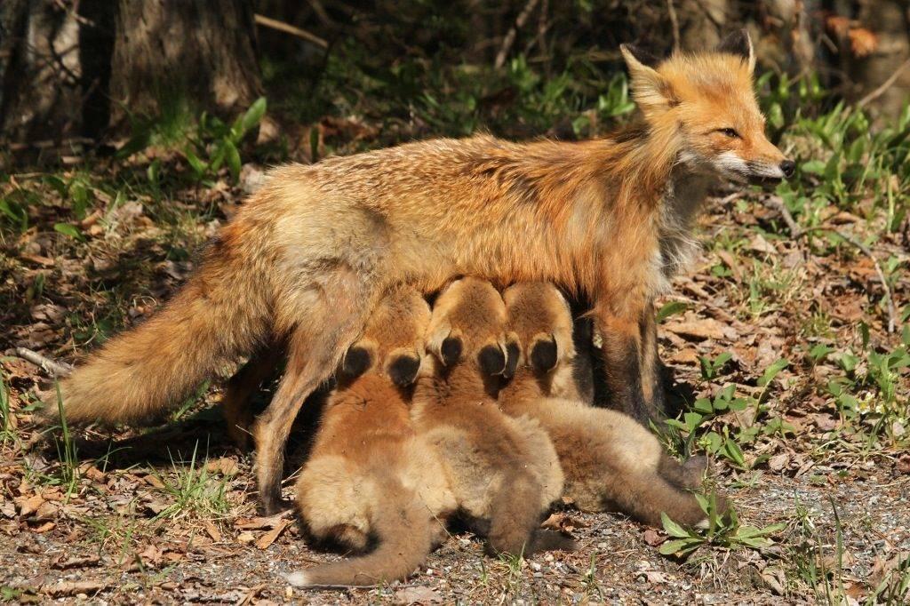 Фото беременная лиса