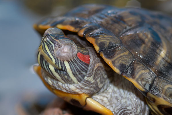 Красноухая черепаха опухли глаза не ест
