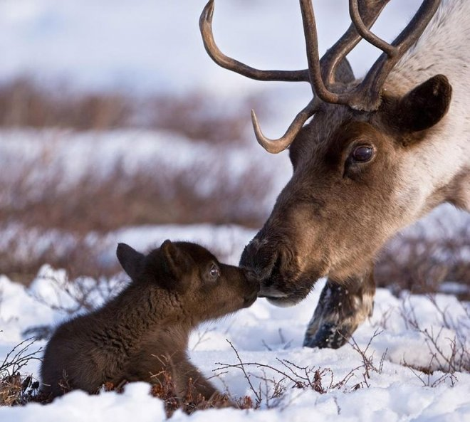 Лось со своим ребенком