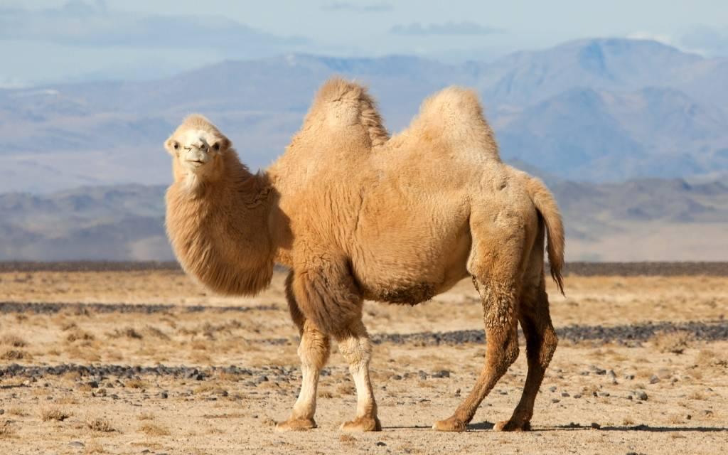 Тело верблюда