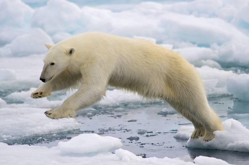 Строение туловища белого медведя