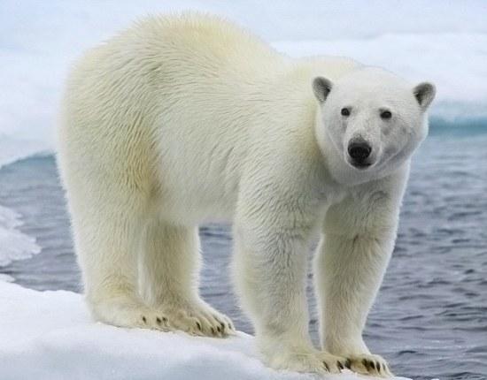 Шерстяной покров белого медведя