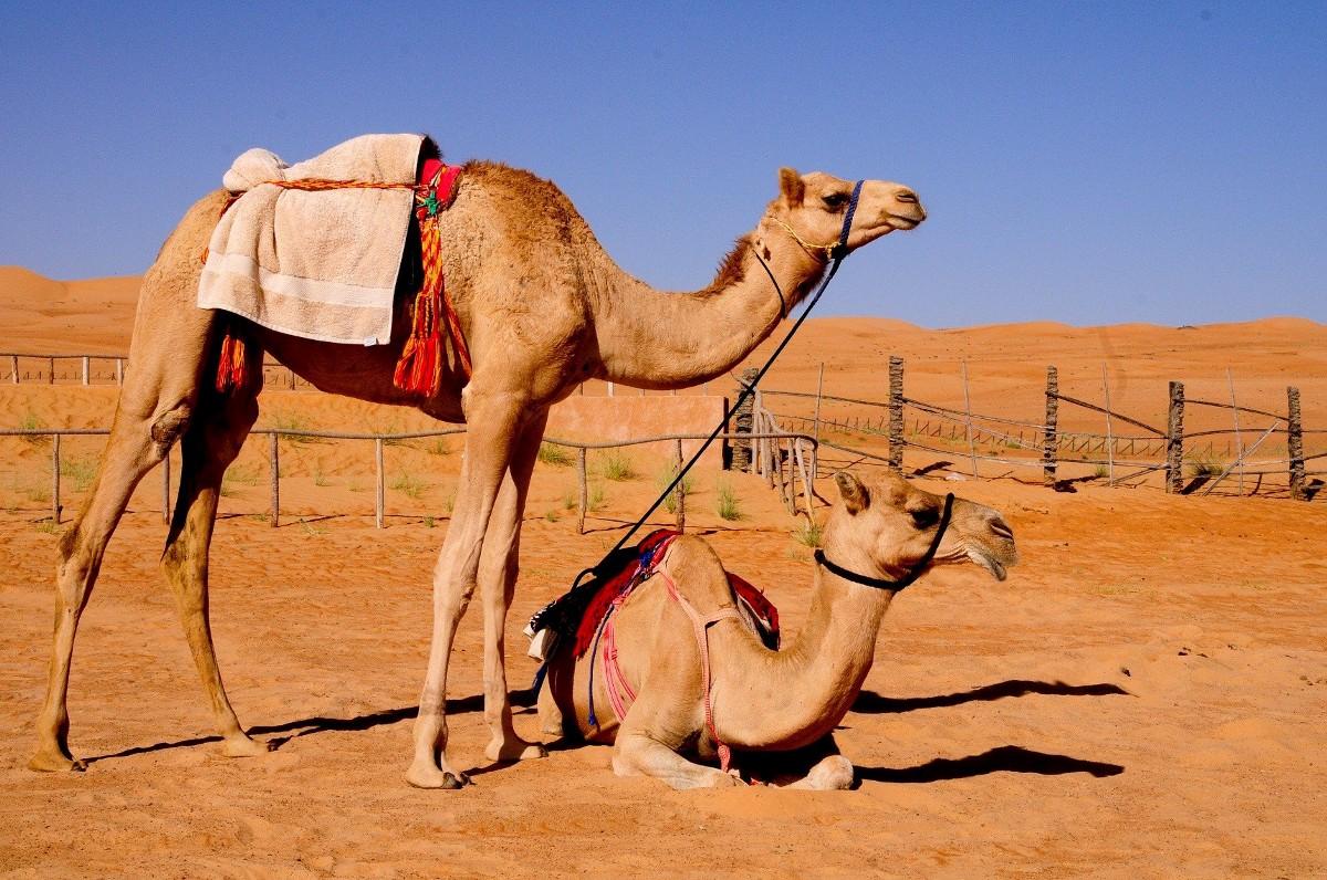 Где живут верблюды