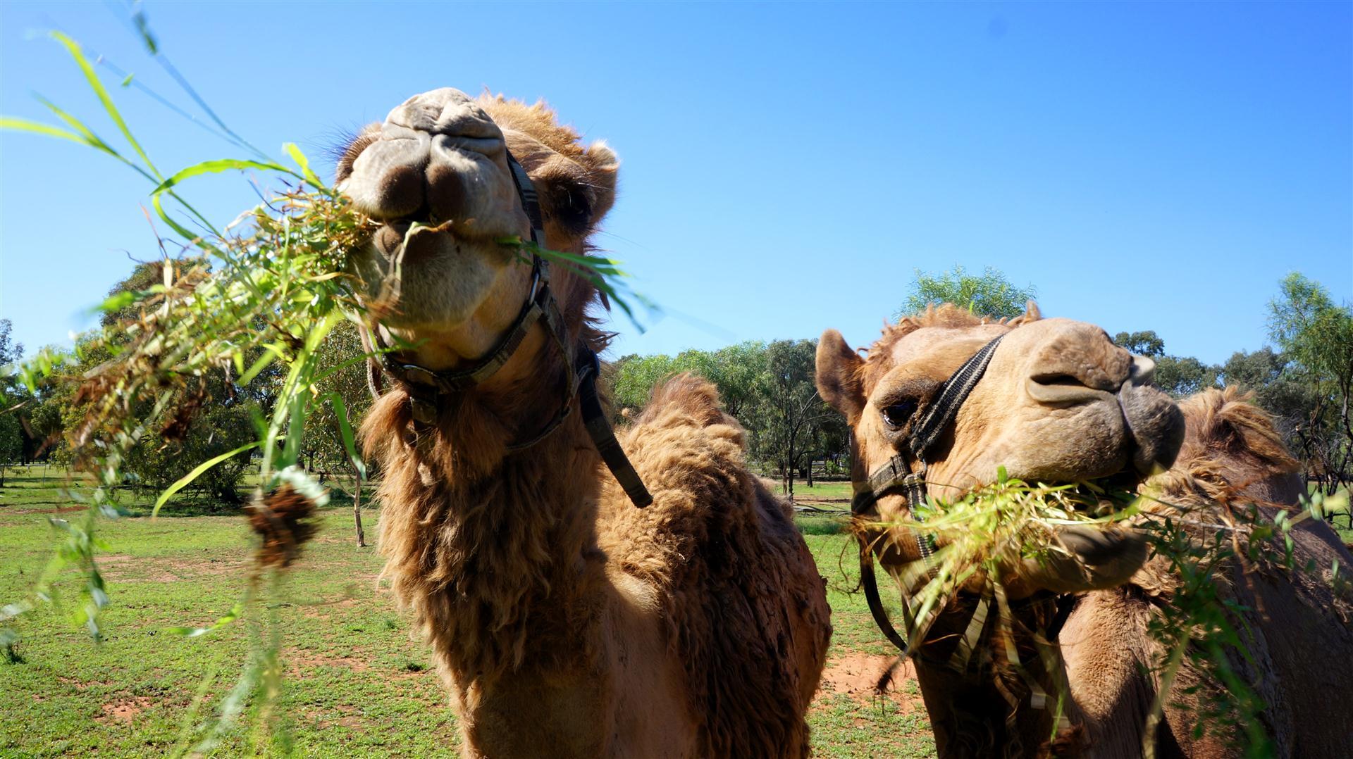 чем питаются верблюды