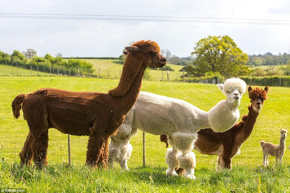 подстриженные верблюды