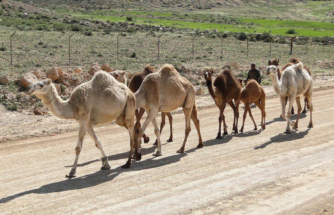 верблюды-хаптагаи