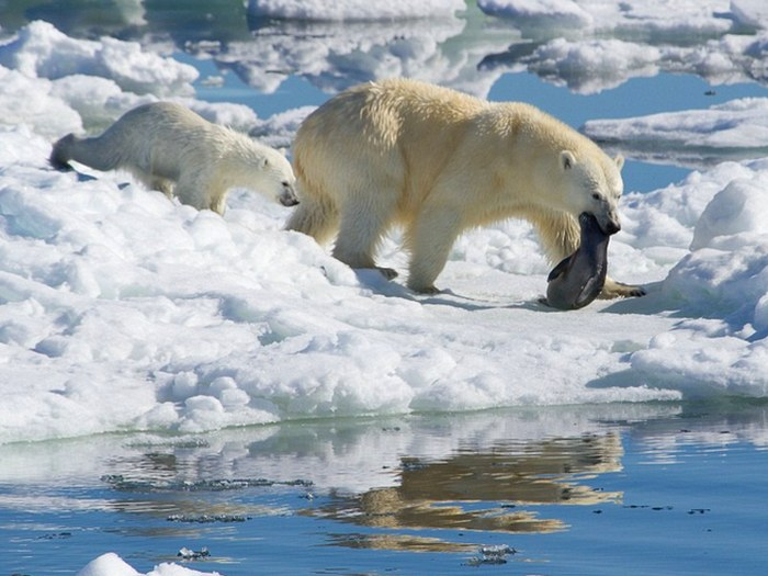 Белый медведь поймал рыбу