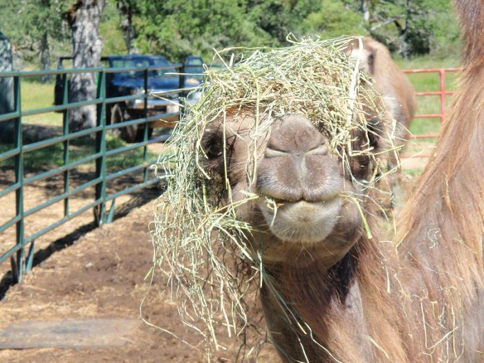 Верблюд ест траву