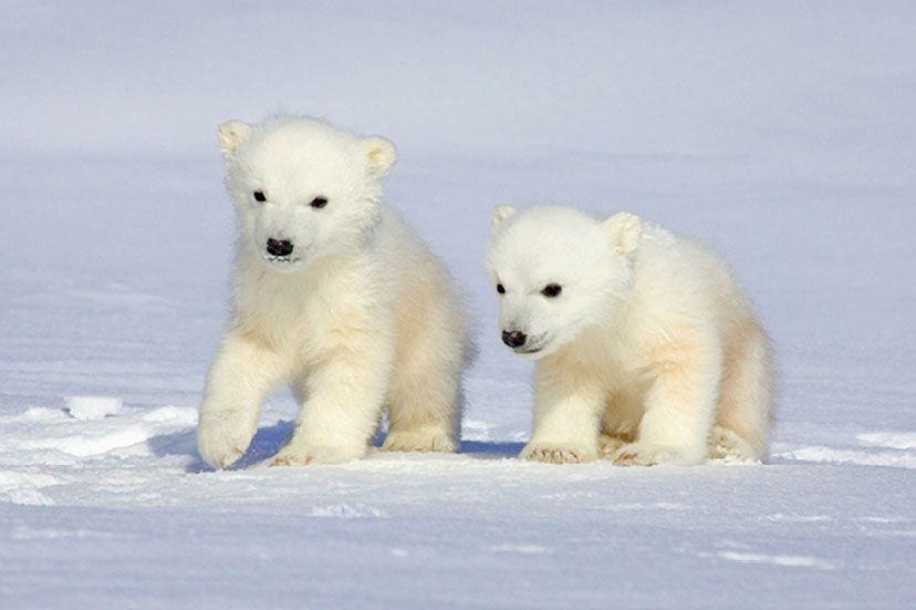 Деьт белого медведя