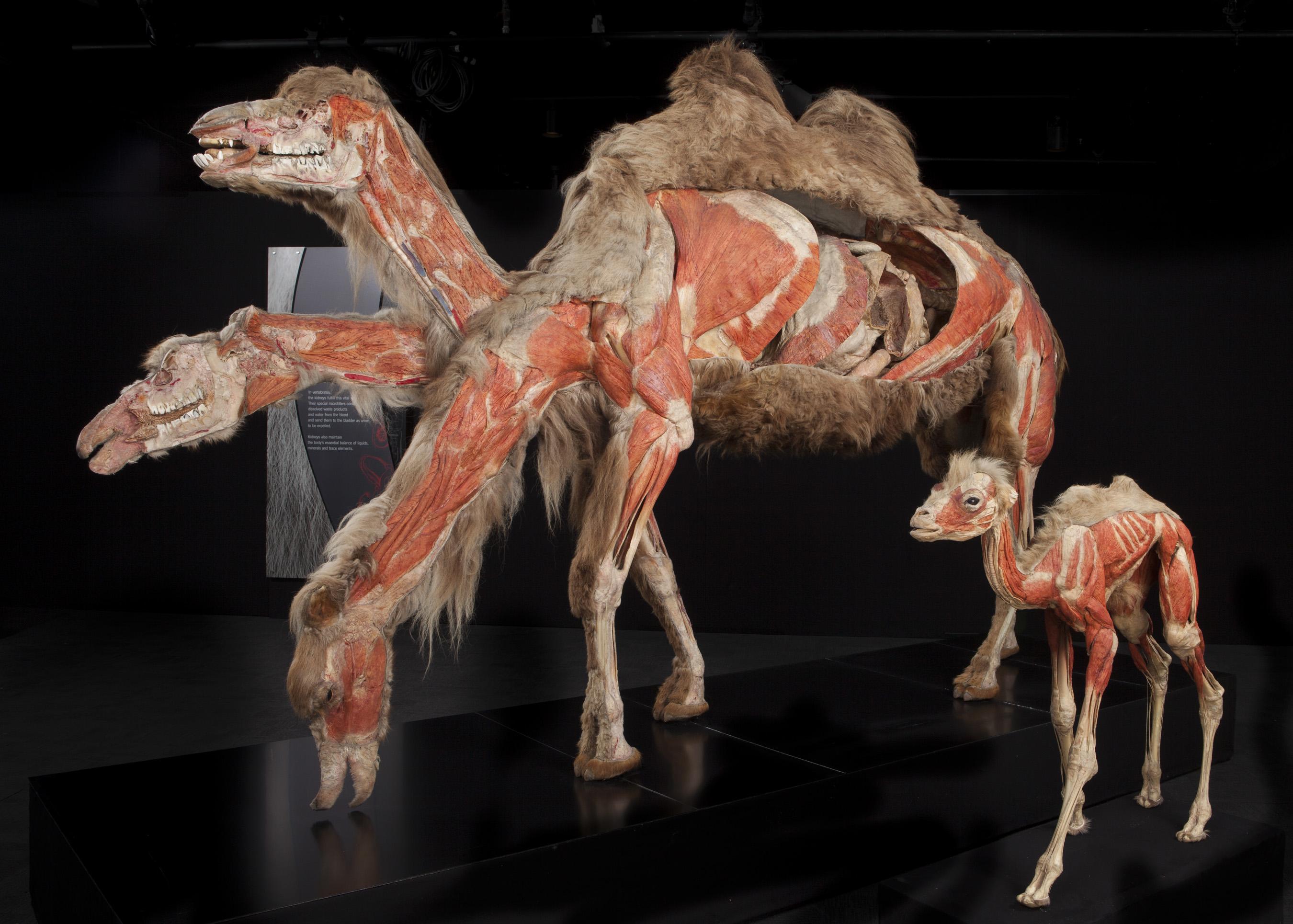 Строение тела верблюда