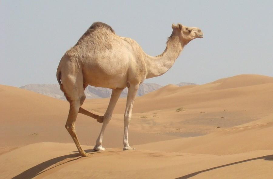 горб верблюда