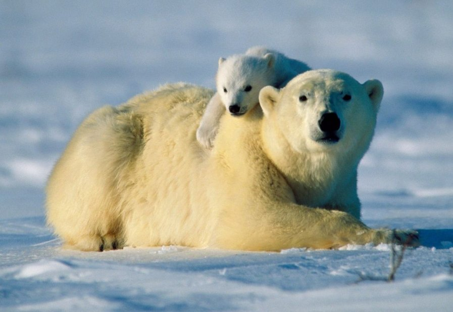 Взрослый и маленький белый медведь
