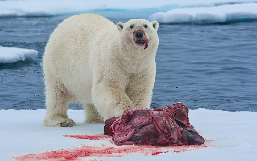 Охота белого медведя