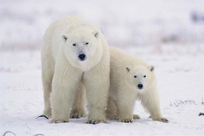 Пара белых медведей