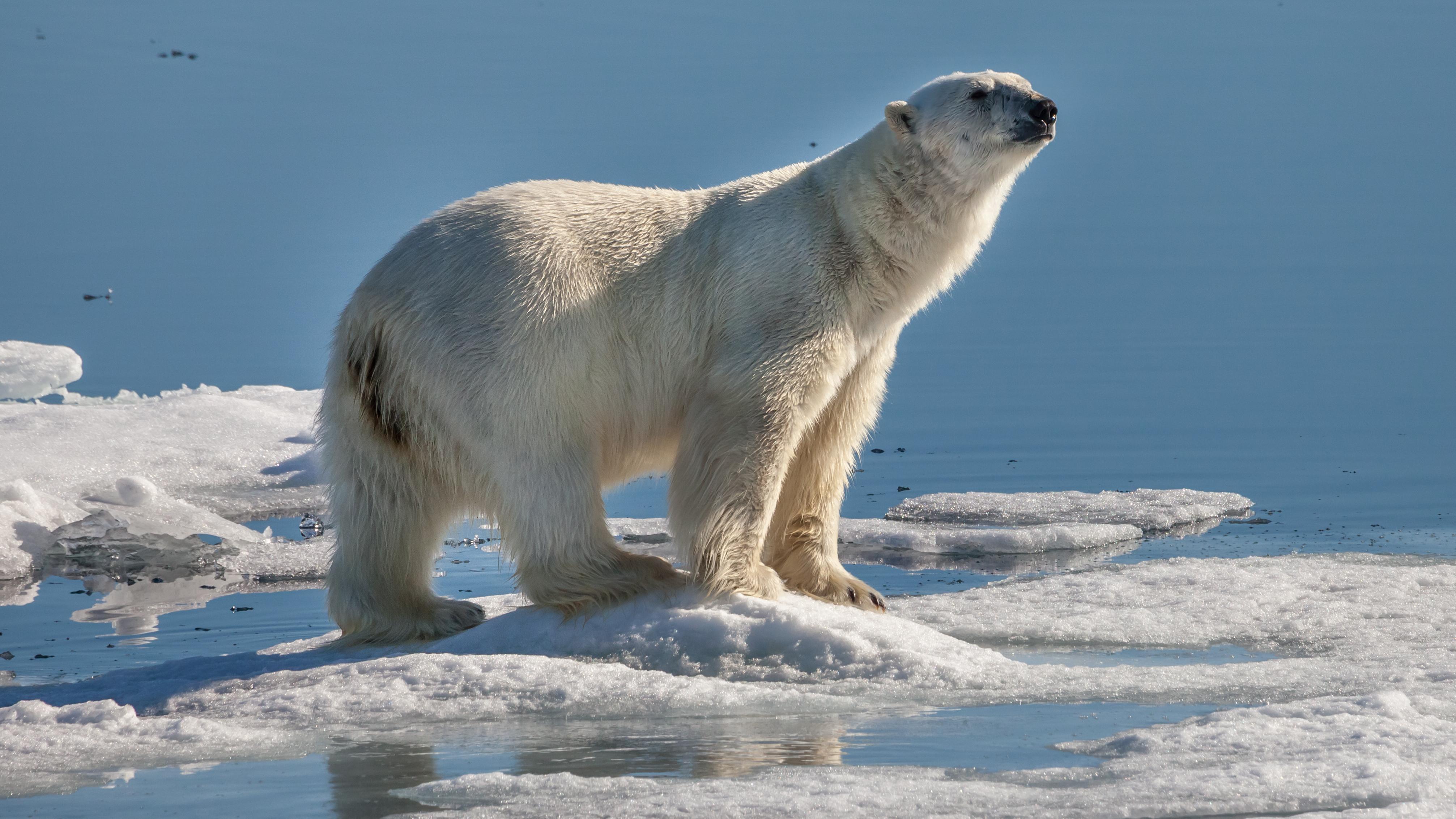 Особенности характера белого медведя