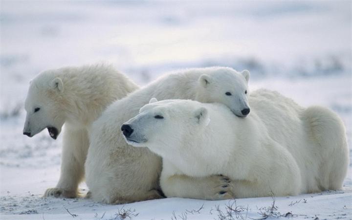 Родственные связи белых медведей