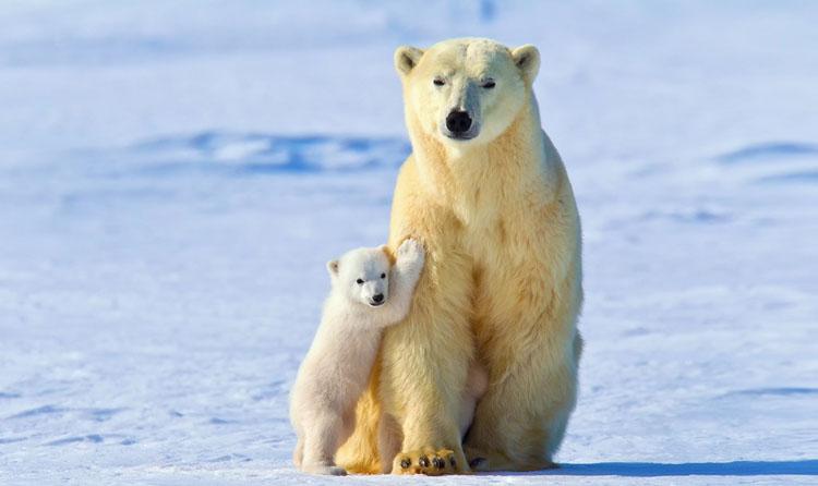 Белый медведь с детенышем