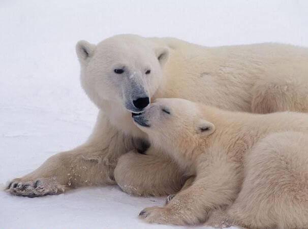 Размножение белых медведей