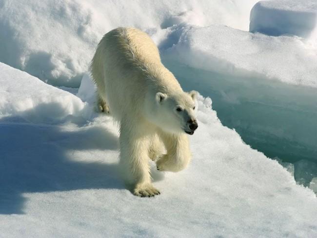 Выносливость белого медведя
