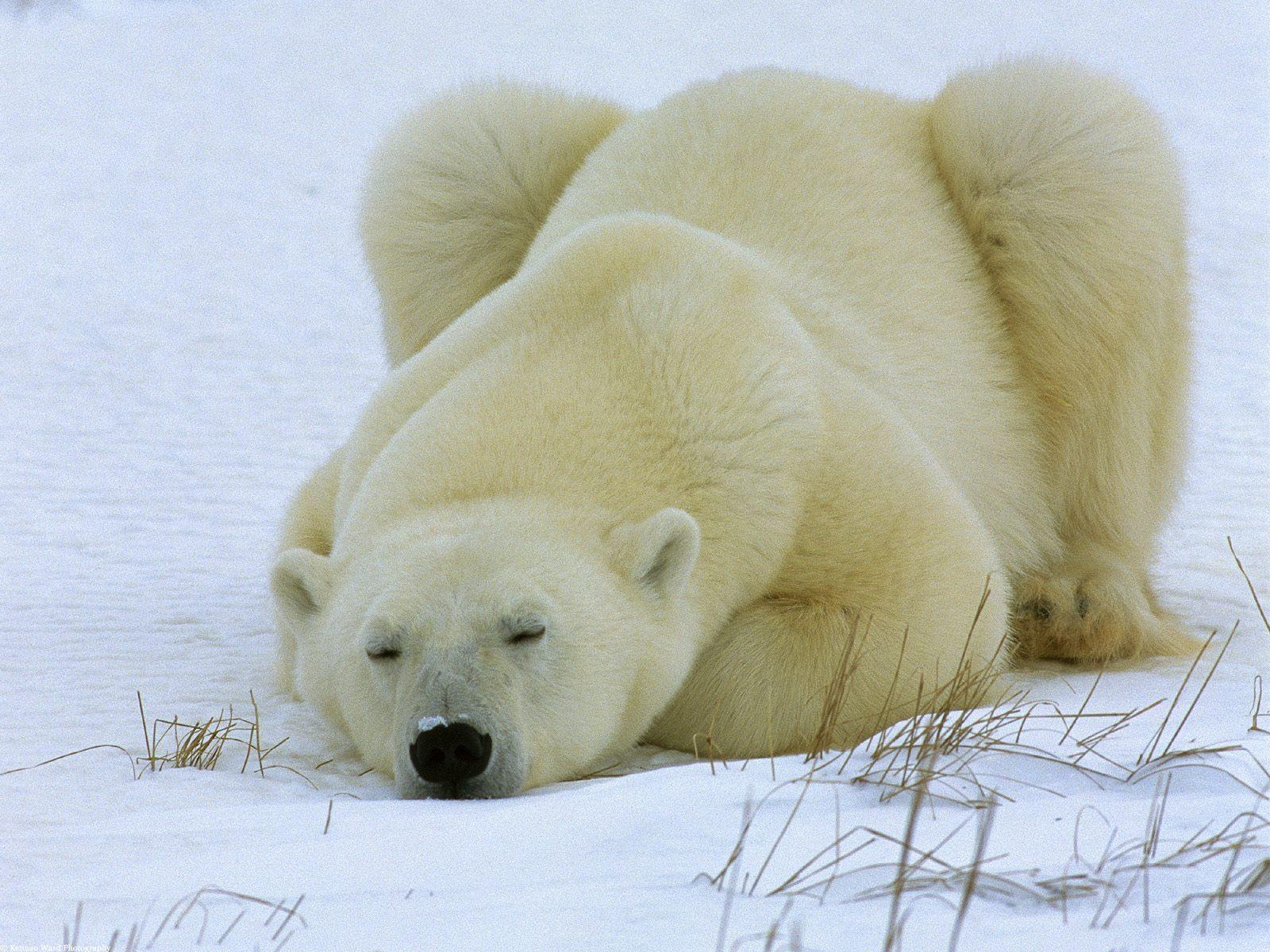 Особенности белого медведя