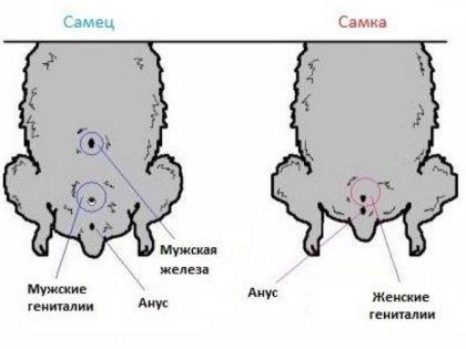 Как узнать пол хомяка?