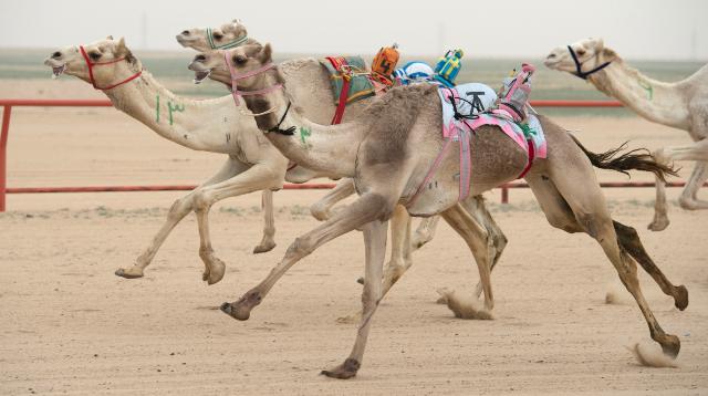 бег верблюдов