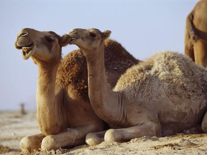 Пара верблюдов