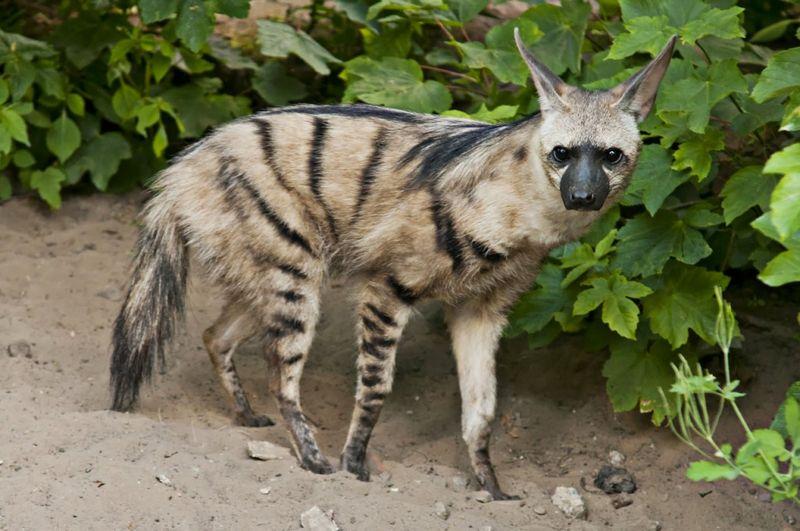 Земляной волк или гиена