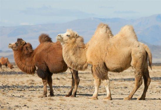 Двугорбые верблюды