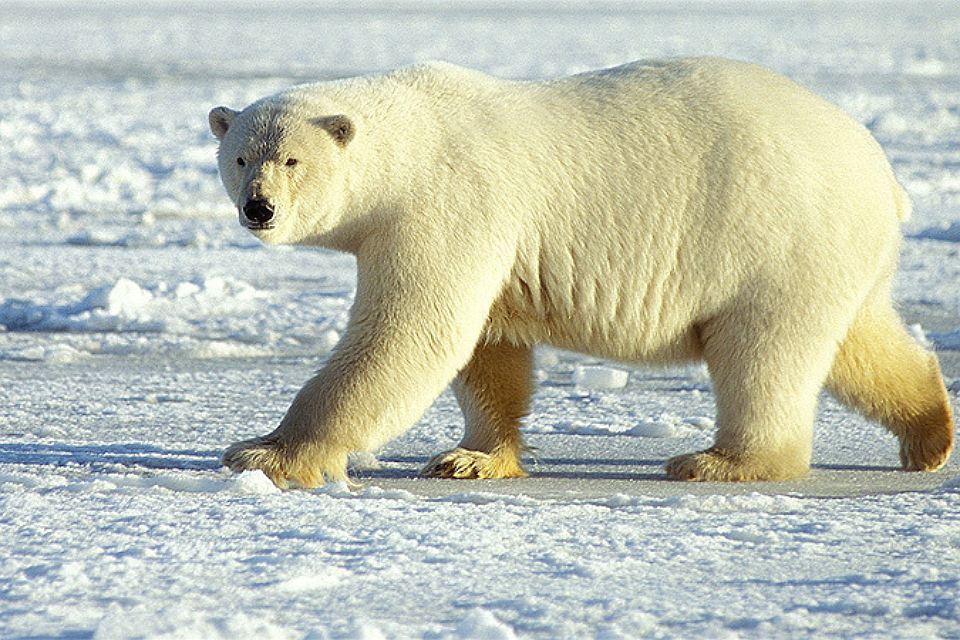Тело белого медведя