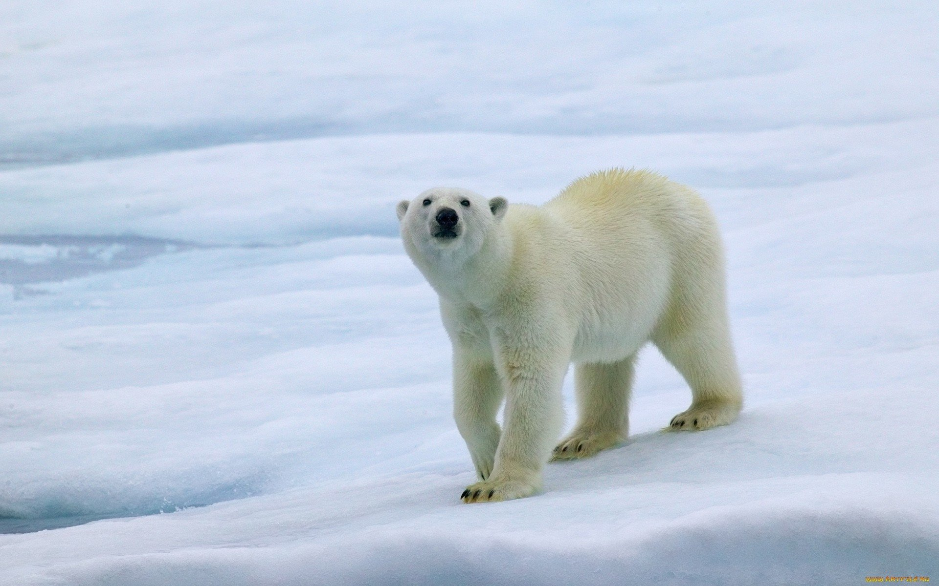 Взрослый белый медведь