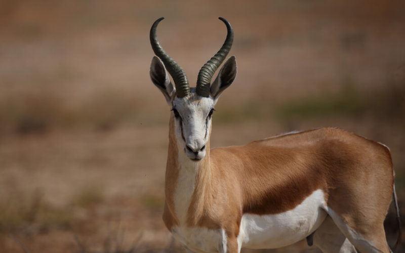 Рога антилопы