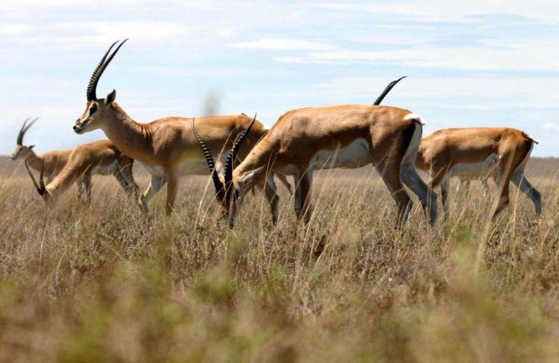Антилопа Рыжая газель