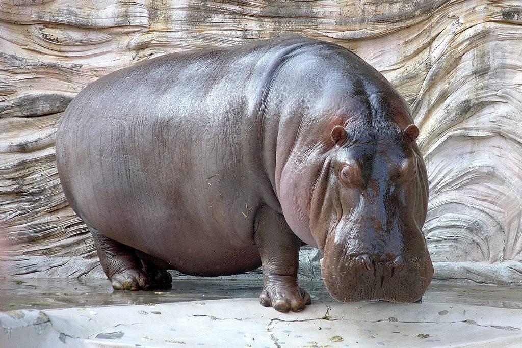 Самое тяжелое животное в мире. Сколько весят голубой кит, слон и бегемот