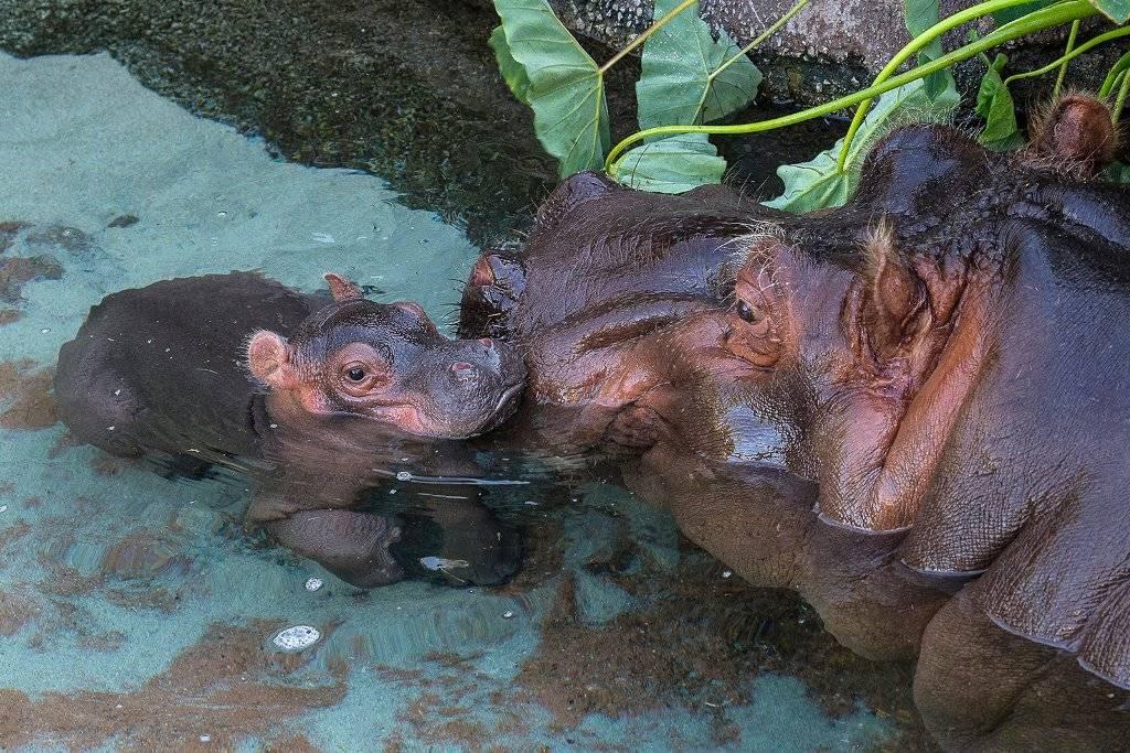 Размножение бегемотов