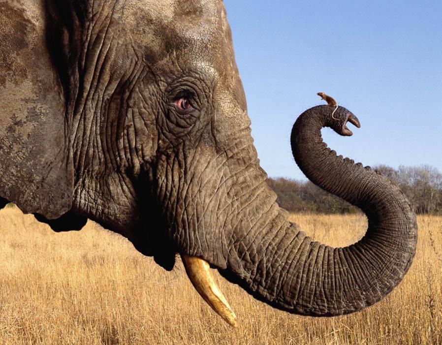 Хобот у слона