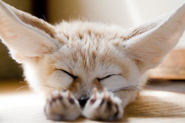 Декоративная лисичка фенек