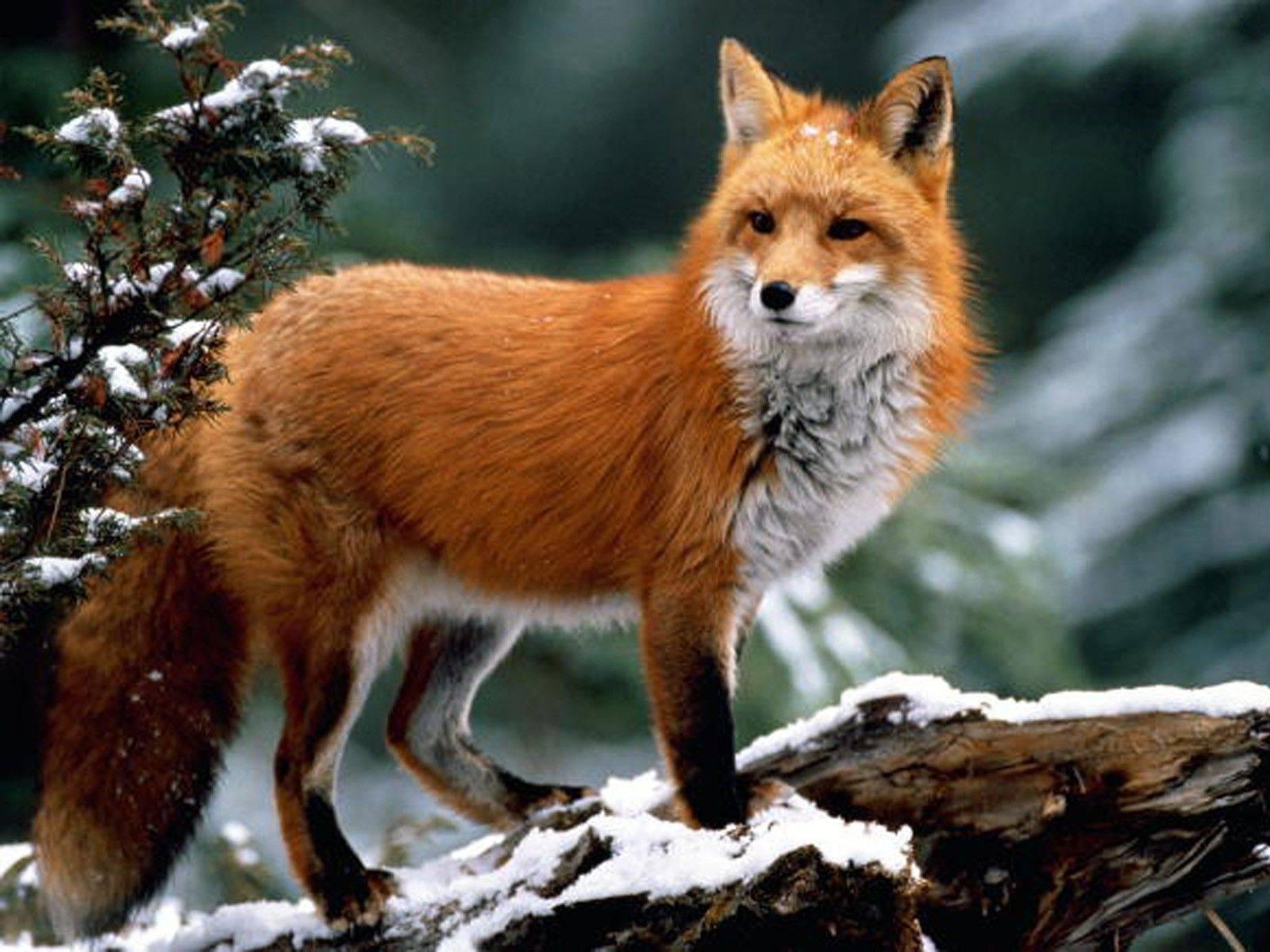Красивая картинка волк