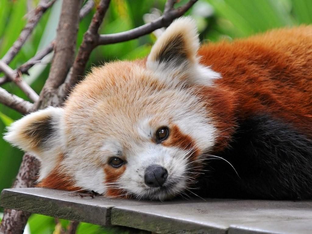 Голова малой или огненной панды
