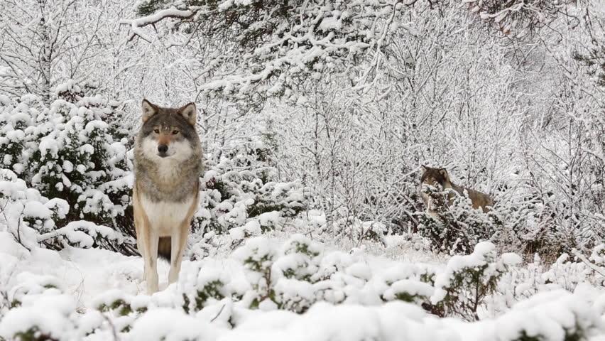 Арктические волки на охоте