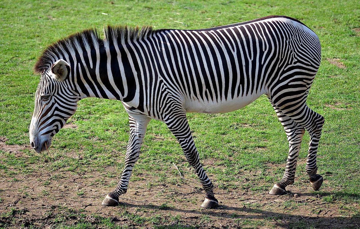 Пустынная зебра Греви