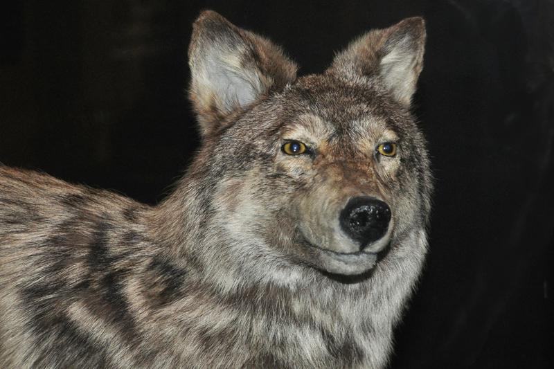 Ньюфаундленд волк