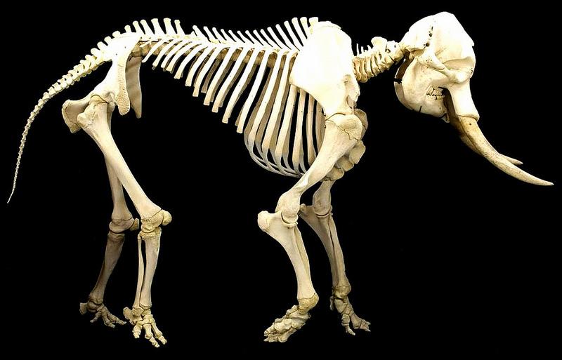 Скелет слона