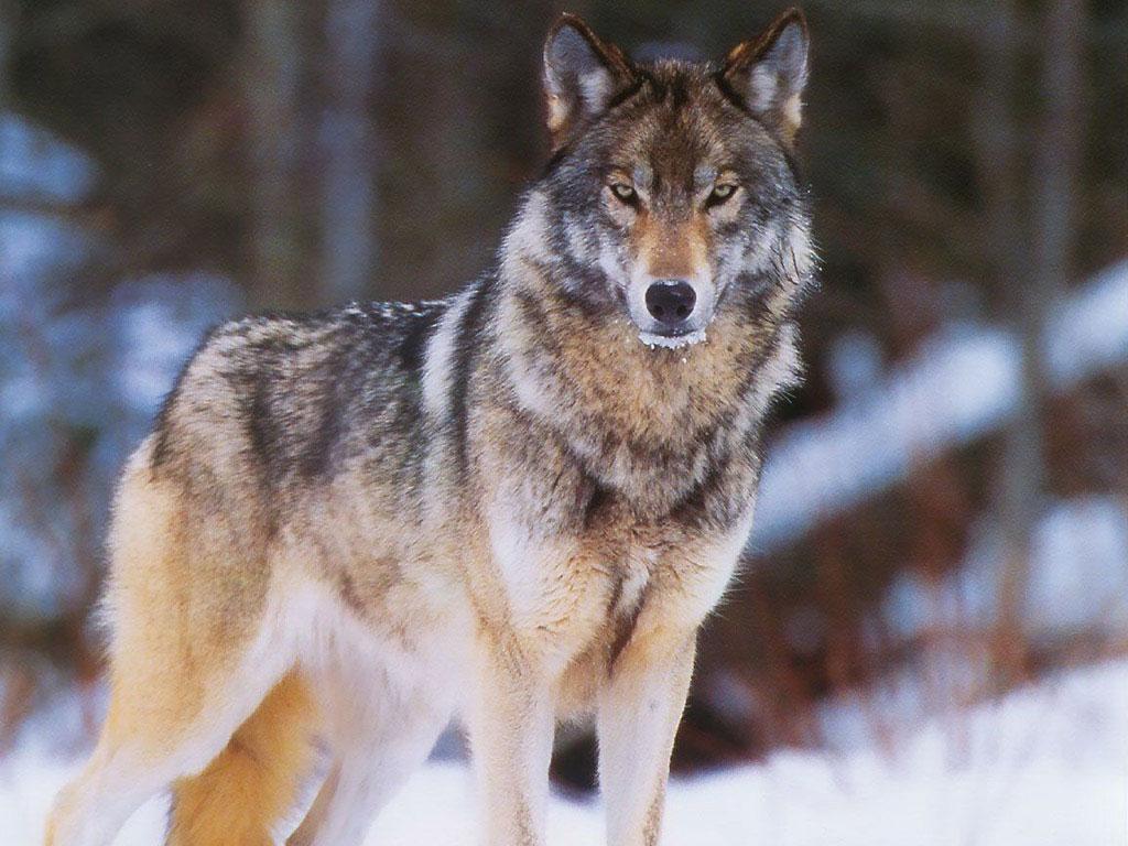 Взрослый волк