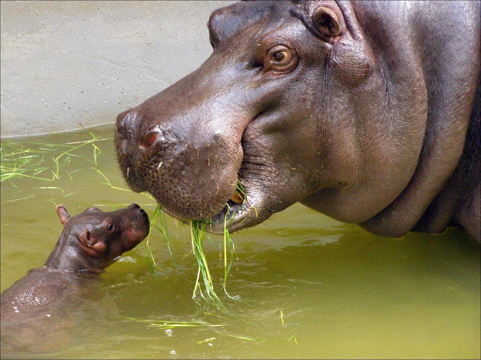 Поведенческие особенности бегемотов