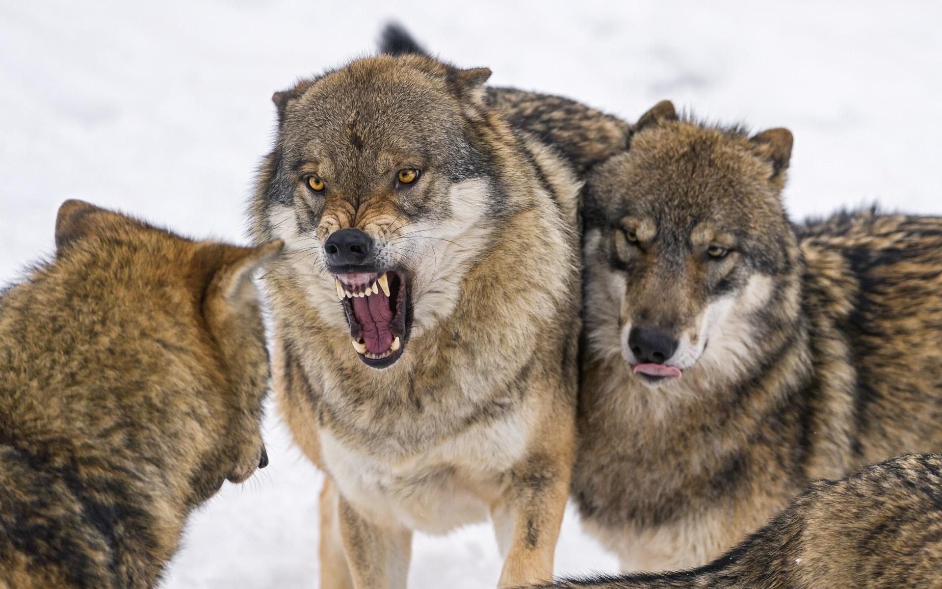 Волк в стае