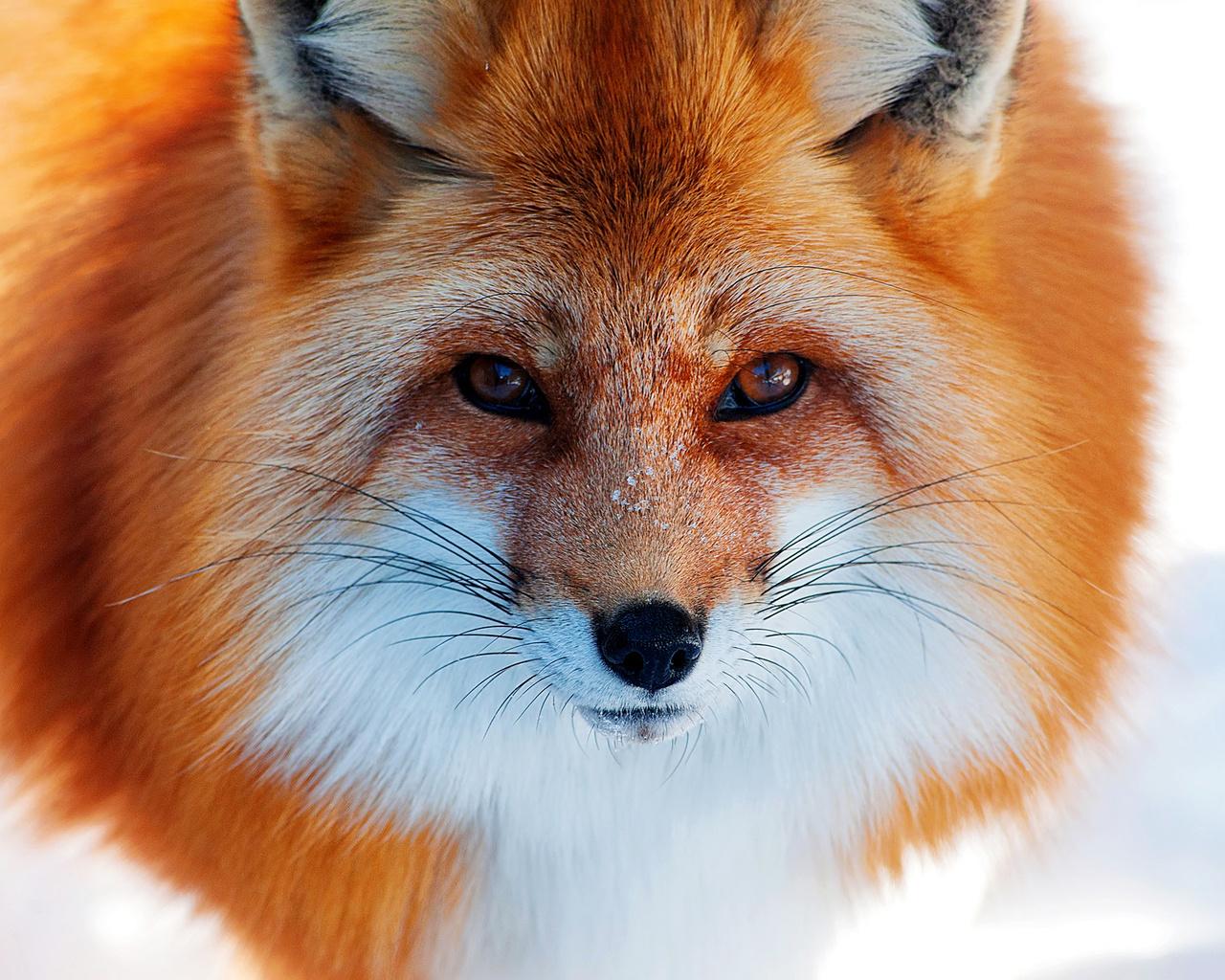 Шерсть лисы