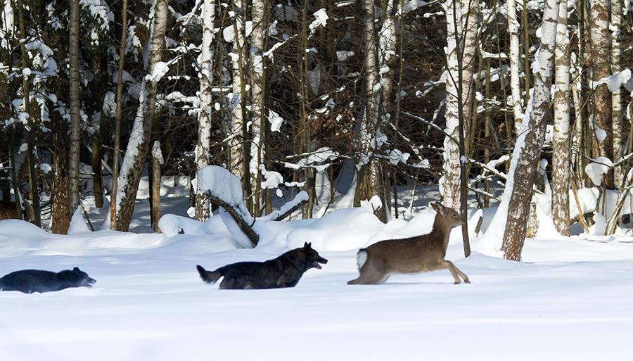 Волки нападают на оленя