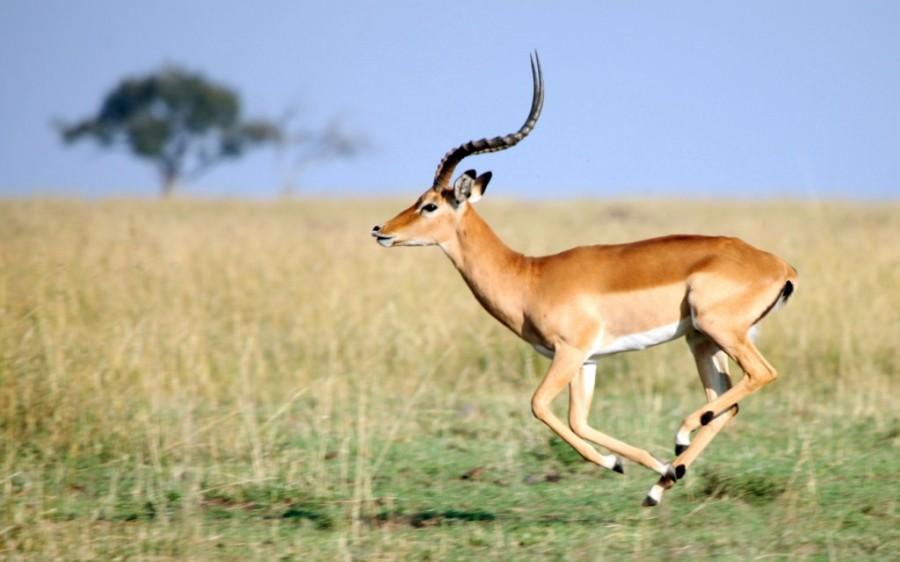 Тело молодой антилопы
