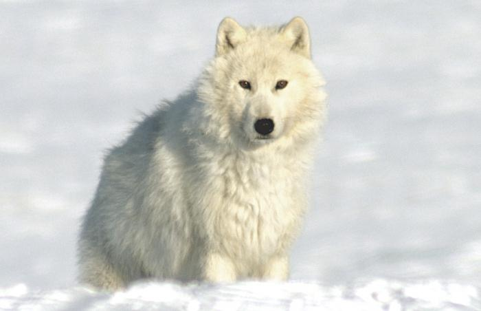 Беременная арктическая волчица